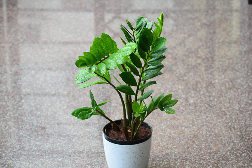 Zamioculcas-zamiifolia-plant