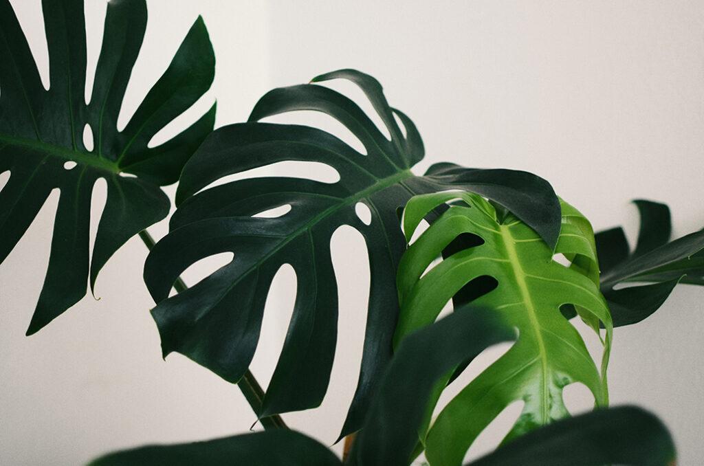monstera-office-plant