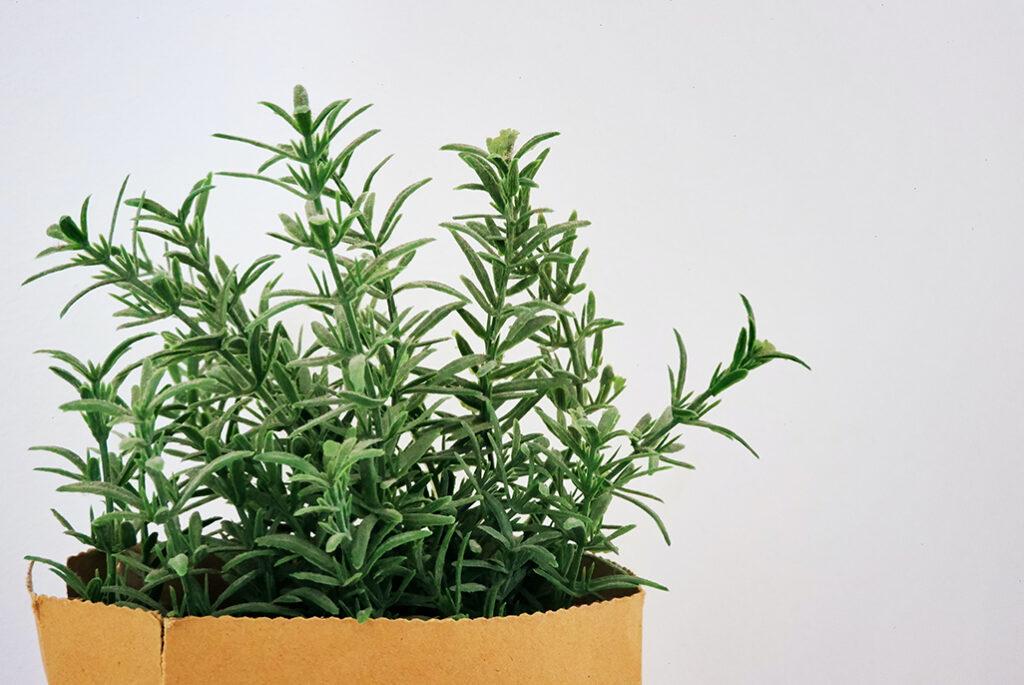 rosemary-office-plant